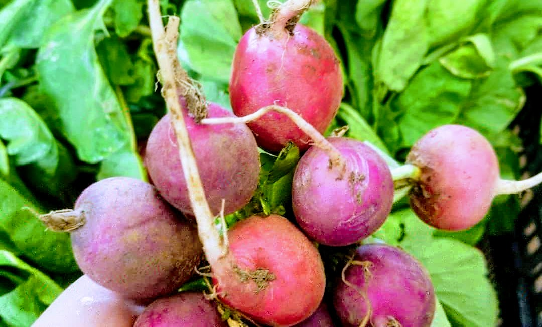 radish picked fresh on the farm